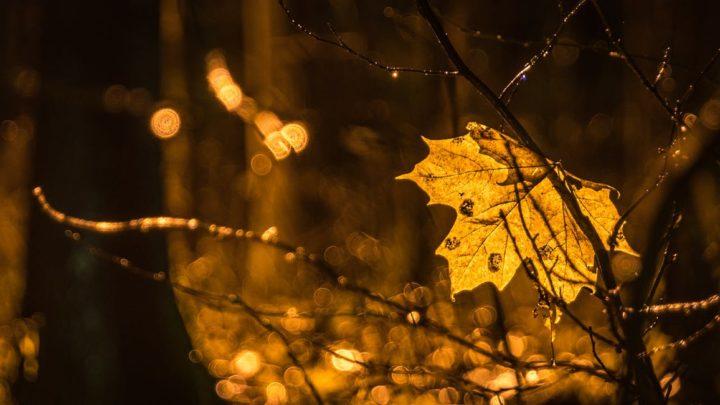 Die Geschichte des Candian Maple Leaf